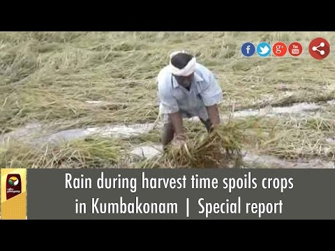 Rain during harvest time spoils crops in Kumbakonam | Special report
