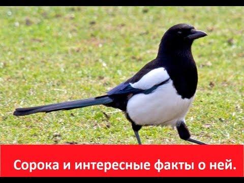 Вопрос: Птица черноклюв. Где обитает, чем питается, как выглядит?