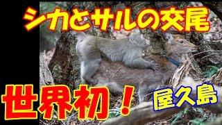 シカと交尾試みるサル、屋久島で「極めて珍しい」事例を確認。 世界初の...