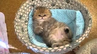 Прикольный персидский котенок