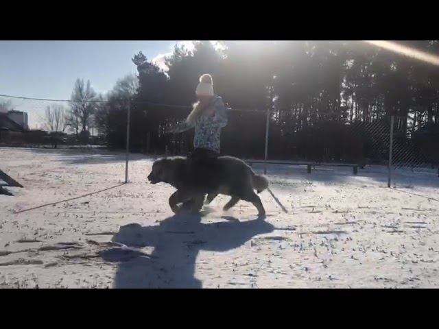 Caucasian Shepherd Dog  Female #7 for sale (6 months)  video 2