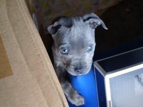 Curioso Cachorro Bulldog Nariz Azul Curious Blue Nose