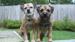 Border Terriers Two's A Crowd: THE SEQUEL