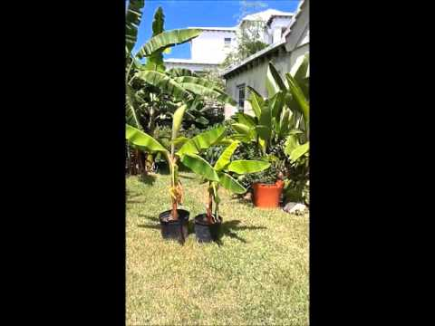 Organically Grown Bermuda video