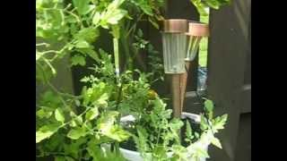 Growing Tomatoes in Pots: Container Gardening (Ottawa city, ontario, canada)