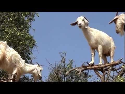 Câmera Record desvenda mistério das cabras que sobem em árvores no Marrocos