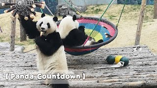 【Panda Countdown】3, 2, 1 let's roll! Countdown to every Saturday ...