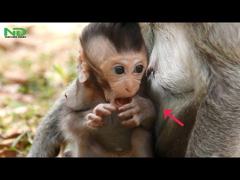 Newborn Get Scare And Nervous So Much, Pity Newborn Monkey Life , Nature Daily