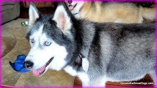 Siberian Husky Goes To The Groomer!