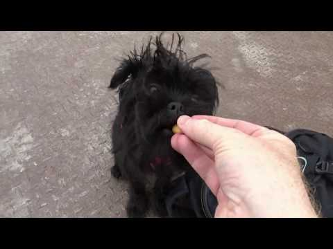 An Affenpinscher puppy walking adventure in Chorley