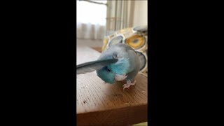 Adorable Bird Getting Cozy Petted With a Feather