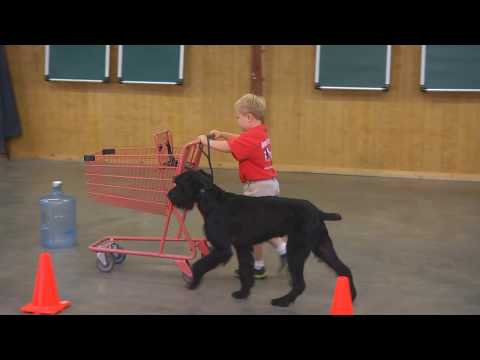 "Super Giant Schnauzer ""Felix"" 2 Yrs Obedience Protection Trained Home Raised"