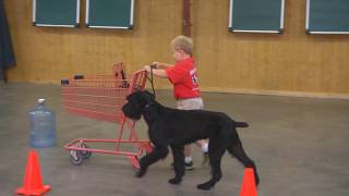 Super Giant Schnauzer 'Felix' 2 Yrs Obedience Protection Trained Home Raised