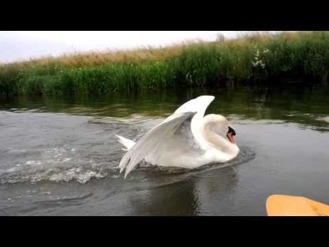 Attack swan on the Fossdyke Navigation
