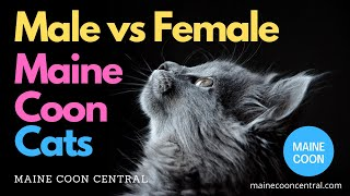 Male vs Female Maine Coons  Which Gender Is Best?