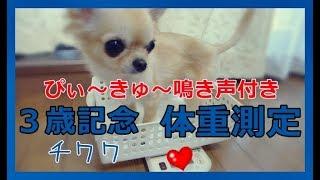 ココナッツマフィンの久々の体重測定動画ですU^ェ^U (ぴぃ~きゅ~未だ...