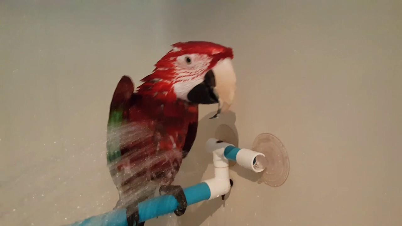 Donner Une Douche A Son Perroquet Youtube