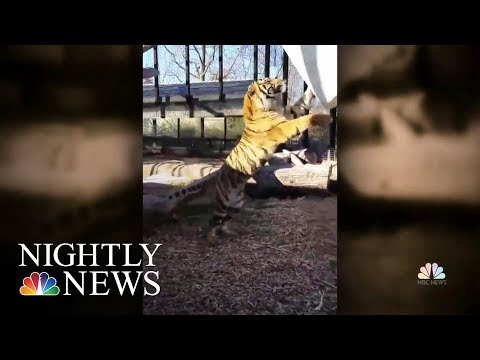 Topeka Zookeeper Hospitalized After Tiger Attack   NBC Nightly News