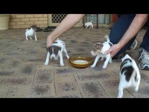 Tenterfield Terrier Rosie 2nd litter 5week
