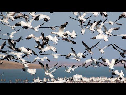 Spring Light Goose Conservation Order - NDGNF
