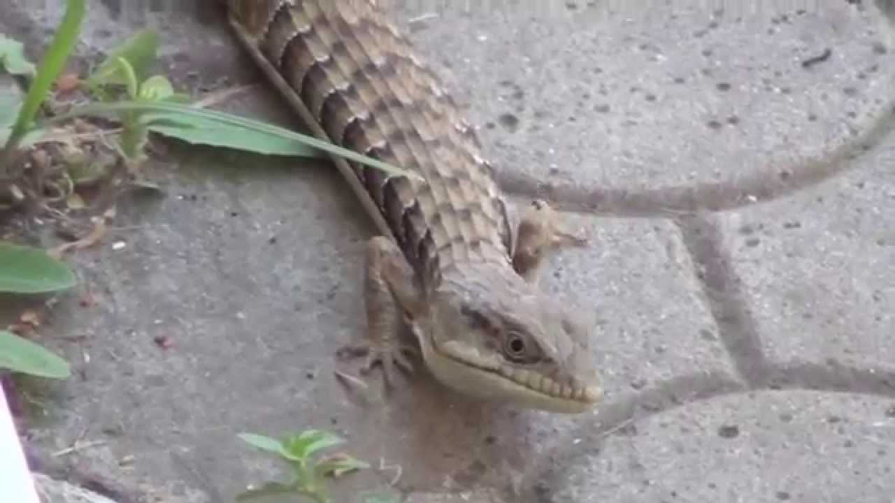 Lizard In My Backyard huge lizard in my back yard - youtube
