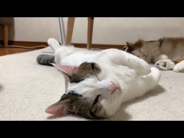 大きくなってもヘソ天がかわいい猫