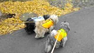 2012年正月 こらさの「まるこ」のお散歩です。 出演:仔ラサの「まるこ...
