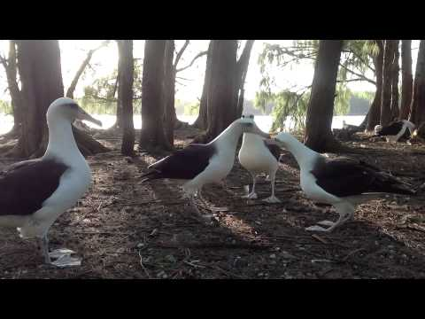 Ka Hula Mōlī ma Pihemanu - The Dance of the Laysan Albatross at Midway Atoll