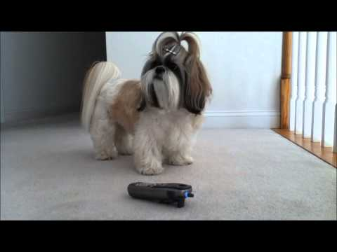 Shih Tzu dog Lacey is listening to our talking and singing phone