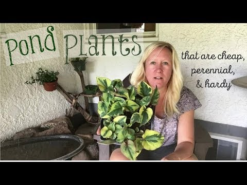 Pond Plants |  Beautiful and cheap!