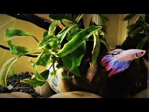 How To Set Up A Simple & Easy Betta Fish Planted Tank (Step By Step)