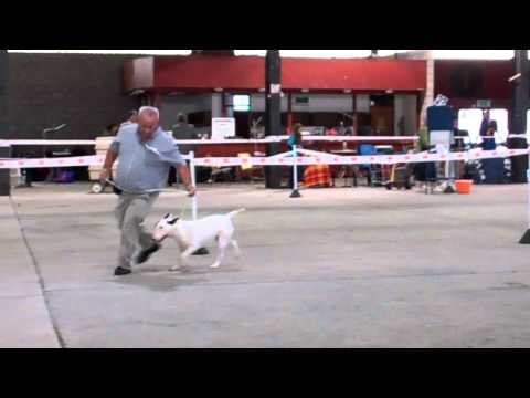 Best of Breed Bull Terrier, Welsh Kennel CLub 2013 Judge Mr R Oliveira (Portugal)