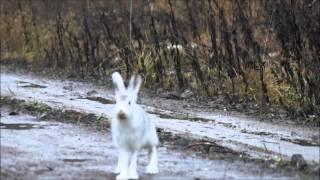 Охота на зайца с Вьюгой Соколова А . и Баяном Шатрова В.