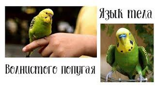 Язык тела волнистого попугая // поведение // Ириска and Кеша