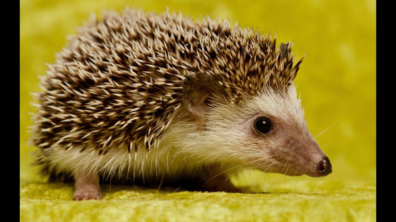 Meeting with hedgehog ukrainian - Immagini di marmellata di animali a colori ...