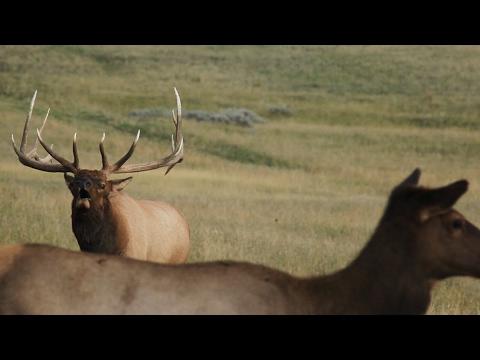 Bowhunting Missouri Breaks Bulls