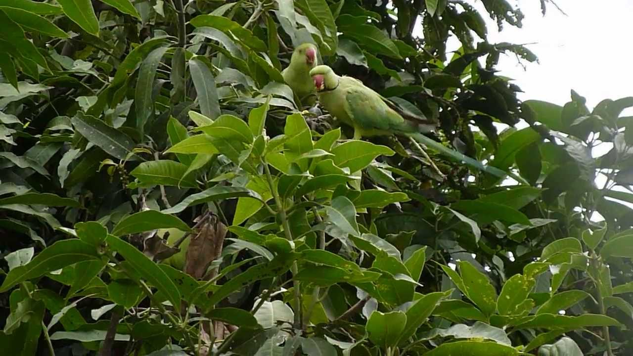 how to stop rats mango tree
