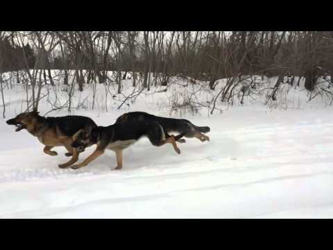 Last of the mohicans -German shepherd dogs running pack wolf free fast