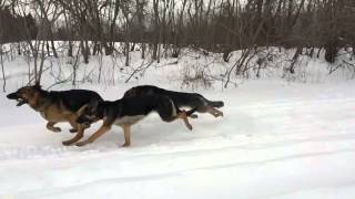 German Shepherd Dogs J.h.o Pack Laval Montreal Quebec Canada