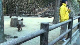 高崎山のニホンザル - ムギの給餌 thumbnail
