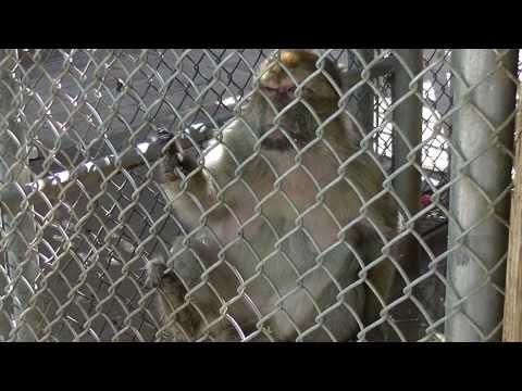 Las Vegas Zoo Barbary Ape