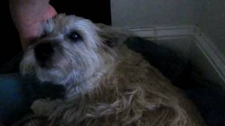 The Cairn Terrier Chronicles - The Last Pavlov Video For A Bit... But He Is *still* *so* Sleepy!