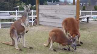 ヨーデルの森【カンガルー広場人懐っこいカンガルー達が近づいてきます。