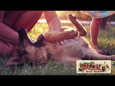 German Shepherd Puppies For Sale - Champion - German Shepherd Puppies For Sale