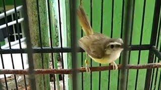 Kicauan Burung Cikrak Bambu Buat Pikat