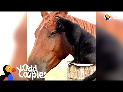 Cat Rides His Favorite Horse Every Day - CHAMPY & MORRIS | The Dodo Odd Couples