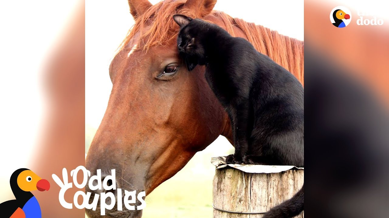 Animal Odd Couples Youtube cat rides his favorite horse every day - champy & morris | the dodo odd  couples