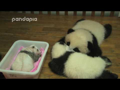 Panda cubs sleep in bed