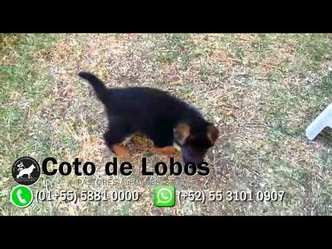 Camada T Del Coto De Lobos Cachorros Pastor Alemán Youtube