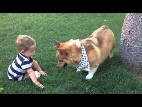 Corgi playing catch with baby